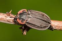 Margined Carrion Beetle (Oiceoptoma noveboracense), West Harrison, Westchester County, New York