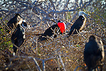 North Seymour Island in the Galapagos National Park, Galapagos, Ecuador, South America. A male magnificent frigatebird displaying at a nesting site in the shrubs, surrounded by young birds and female frigatebirds.