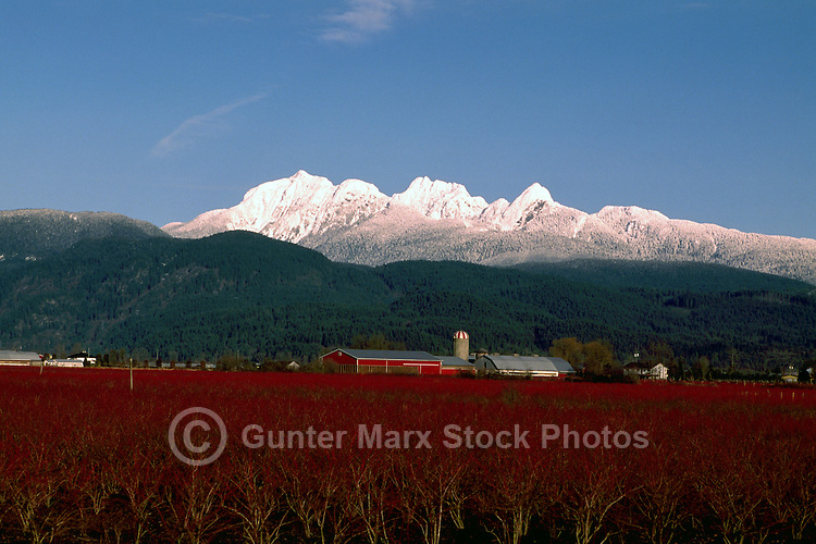 """Fraser Valley, Southwestern BC, British Columbia, Canada - Blueberry Farm and Snow Capped """"Golden Ears"""" Mountains (Coast Mountains) in Golden Ears Provincial Park, Spring"""