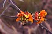 Wiliwili (Erythrina sandwicensis), an endangered native dryland forest tree, whose seeds are used in leis, Hualalai, Kaupulehu