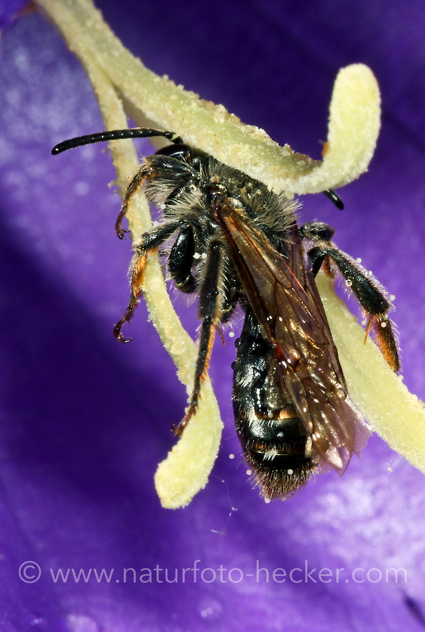 Braunschuppige Sandbiene, Braune Glockenblumen-Sandbiene, Knauten-Sandbiene, Andrena curvungula