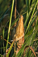 508730008 a wild least bittern ixobrychus exilis assumes a defensive posture standing straight up to mimic the reeds where it is perched anahuac national wildlife refuge texas