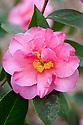 Camellia 'Leonard Messel', mid March.