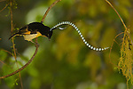 Adult male King of Saxony Bird of Paradise (Pteridophora alberti) performing a bouncing practice display that waves his head plumes.