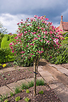 Lonicera, topiary standard honeysuckle vine in flower