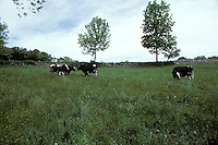 dairy cows cattle Agriculture