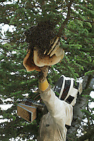 Charles, apiculturist and swarm hunter climbs on a tall oak tree as bees form a swarm around their queen to protect her. Loaded will honey for the trip, they are not dangerous. The beekeeper focuses on the queen. If he does not catch her, the swarm will escape the basket to stay with her and the operation will have been useless.