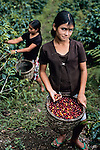 HONDURAS10011NF3, A young girl picks cherries, the fruit produced by the coffee tree that turns red or yellow when it is ready for harvesting, La Fortuna, Honduras, 2004..Magnum Photos, NYC62862, MCS2004007 K001.