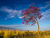 A Jacaranda tree covered in purple blossoms is lit by the early morning light in Kailua-Kona, Big Island.