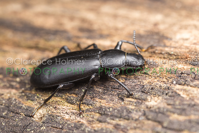 A False Mealworm Beetle (Alobates pennsylvanica) perches on the side of a fallen dead tree.