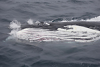 Humpback whale Megaptera novaeangliae Lunge feeding showing expanded throat pleats and eye. Kvitøya, Arctic ocean
