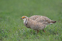 572110235 a wild lesser prairie chicken tympanuchus pallidicintus displays and struts on a lek on a remote ranch near canadian in the texas panhandle