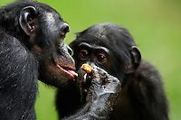 Bonobo mature male aged 17 years feeding while watched by his son (Pan paniscus), Lola Ya Bonobo Sanctuary, Democratic Republic of Congo.
