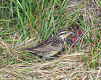 An Eastern Meadowlark (Sturnella magna) feeding babies in the grass nest (Indiana)