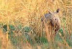 White rhinoceros calf, Phinda Resource Reserve, South Africa
