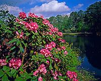 Evergreen Rhododendron, Callaway Gardens, Pine Mountain, Georgia