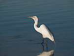 A Great Egret swallows a minnow in the beach-side waters of Lake Nokomis