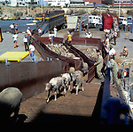 Sheep being loaded on board a transport ship, destination middle east. Brisbane Australia 1980.