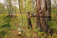 Sabit Galin gets ready to climb the hundred-year-old pine. A leather cord around his waist, he climbs in the manner of tree pruners, his feet supported by the notches hollowed out by his great-grandfather.