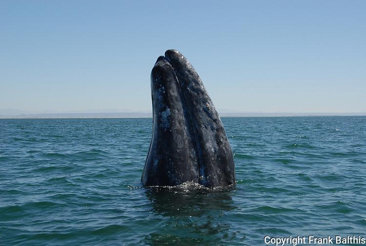 gray whale spy-hopping