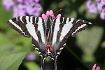 Zebra swallowtail butterfly, Eurttides marcellus