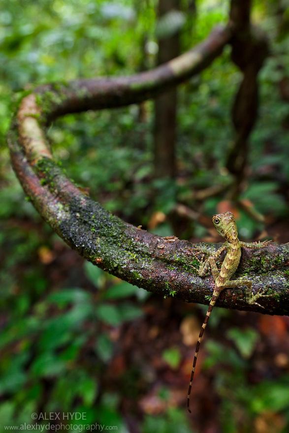 Bornean Angle-Headed Lizard / Long-Crested Forest Dragon {Gonocephalus bornensis} juvenile climbing liana vine in tropical rainforest. Danum Valley, Sabah, Borneo, Malaysia.