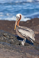Brown pelican, James Bay, Stantiago Island, Galapagos Islands, Ecuador.
