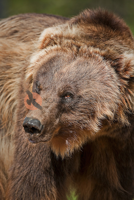 Vertical view of face of Brown Grizzly Bear in Montana-face is sharp