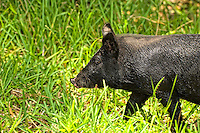 """This is one of the strangest things ever .... six wild boars roamed into our suburban Fort Myers, Florida yard and had a blast rolling in the dried up, muddy canal in the back yard. I was out there with my cameras and a couple of lenses, and it was the first time I was able to get close to them. In fact - some got so close that I couldn't get a clear shot because I was using a zoom lens! Then I did something dumb. I put out my hand to see if one would come close enough for me to be able to say I actually touched a wild boar. Four of them let me scratch them and leaned into me like a pet dog would! They loved it! It was incredible!!!! I have since then been called the """"Pig Whisperer"""" as a result."""