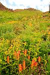 Wildflowers Blooming in Porphyry Basin San Juan Mountains Colorado