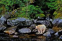 Ma1210  Kermode Black Bear or Spirit Bear looking for salmon along stream on Princess Royal Island,  Coastal British Columbia.  Sept.
