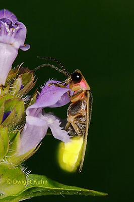 1C24-801p  Pyralis Firefly - Lightning Bug - Male - Photinus spp.