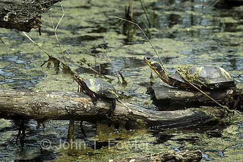 Spotted turtle, Clemmys guttata