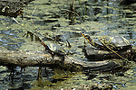 Turtles, Spotted