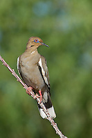 518240032 a wild white-winged dove enaida asiatica perches on an ocotillo plant stem in green valley arizona united states