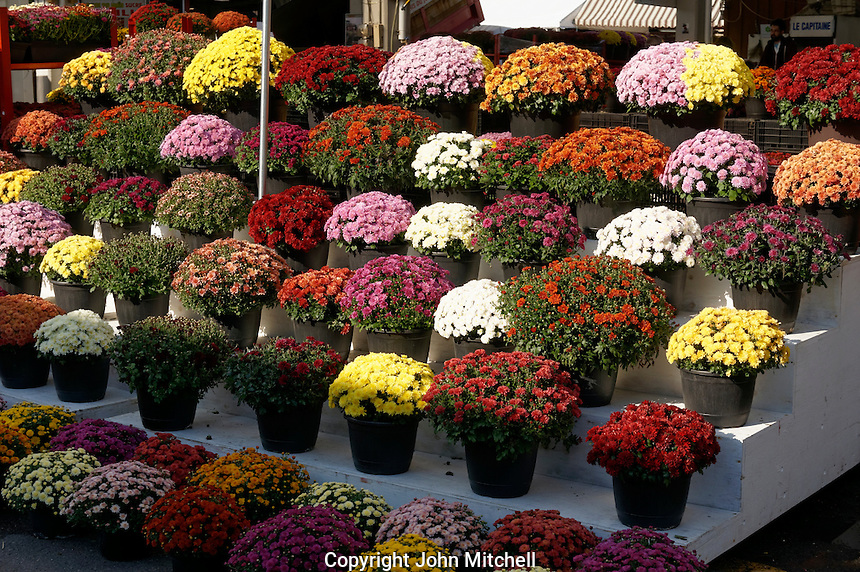 Colorful chrysanthemums or potted mums for sale at the Jean Talon Market, Montreal, Quebec, Canada