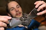 Foto: VidiPhoto<br /> <br /> ARNHEM - De vleermuispopulatie in de Dessert van Burgers' Zoo in Arnhem is spectaculair gegroeid. Dat blijkt uit de donderdag gehouden telling van de dieren. De zogenoemde Zuid-Amerikaanse brilbladneusvleermuizen moesten met de hand gevangen, gesekst (geslacht bepaald) en geteld worden. Dat is nodig om te voorkomen dat de vleermuismannen de overhand krijgen en de vrouwtjes teveel onderdrukt worden. Als er teveel mannetjes zijn worden die in een speciale mannenkolonie ondergebracht. Vorig jaar waren en 84 mannen en 103 vrouwen. De groei nu (131 mannen en 150 vrouwen, waarvan 21 drachtig) is echter dermate spectaculair dat er ondanks het goede evenwicht, toch vleermuismannetjes uit de groep verwijderd worden. Ze hebben volgens de dierentuin te goed hun best gedaan het afgelopen jaar. Foto: Moeder met tweeling.