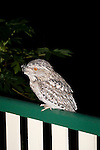Tawny Frogmouth visits a suburban deck at night in Brisbane, Australia.   //   Tawny Frogmouth Podargidae: Podargus strigoides. Length to 45cm, wingspan to 80cm, weight to 500g. Also known as Tawny-shouldered Frogmouth (or, incorrectly, as Mopoke, Morepoke and Frogmouth Owl).  Nocturnal, preys on arthropods such as insects and spiders,  and small vertebrates, scooping these from the ground with its wide frog-like beak. Found in open woodland throughout Australia, Tasmania, southern New Guinea. Sleeps singly, pairs or family groups during the day on a horizontal branch close to the trunk of a tree or, uncommonly, on the ground. Weak anisodactyl toes useless for catching prey. IUCN Status: Least Concern.   //Eric Lindgren//