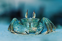Ghost crab (Ocypode sp.), adult, Madagascar, Africa