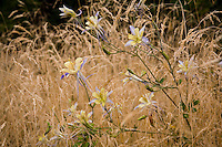 Aquilegia caerulea (Colorado or Rocky Mountain Columbine) in meadow with grass Deschampsia cespitosa, brown seed heads in Denver Botanic Garden