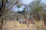 Africa, Kenya, Meru. Adult zebra with two young foals.