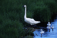 Trumpeter swan leads little ones carefully through the brush to feed in early morning along Alaska's Denali Highway.  The trumpeter swan is the largest and rarest swan in the world. Hunted to the brink of extinction by the early 1900's, trumpeter swan numbers are rebounding in Canada and Alaska.