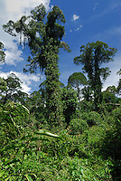 Lowland rainforest trees covered with epiphytes, Danum Valley Conservation Area, Sabah, Borneo, Malaysia