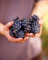 A detail of freshly harvested grapes