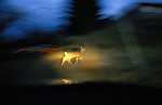 Mule deer in the headlights, Washington