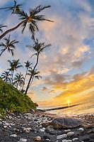 At sunset, a honu (Hawaiian green sea turtle) sleeps on the beach for the night in Puako, Big Island.