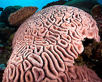 Brain coral,Yap Micronesia (Photo by Matt Considine - Images of Asia Collection)