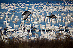 Thousands of snow geese enjoy the afternoon waters at Chincoteague National Wildlife Refuge on Assateague Island, Virginia.  The first few birds begin to take off, a prelude to what's to come over the next minute.