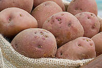 Potatoes 'Etoile du Nord' red skinned, showing closeup of potato eyes