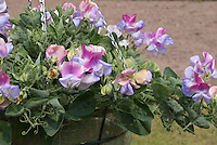 Lathyrus odoratus 'Northern Lights' (Cherub Series) Sweet peas, fragrant annual flowers in container hanging basket pot